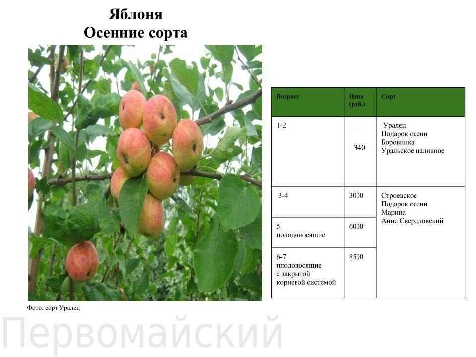Яблоня подарок осени характеристика сорта 1