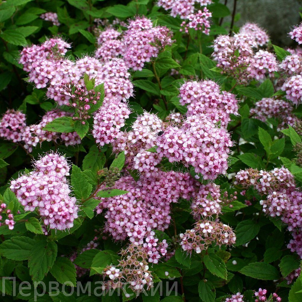 Spiraea Japonica Little Princess Japonica Little Princess