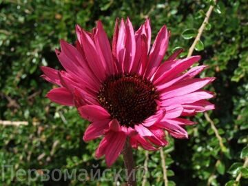 echinacea_fatal_attraction. 1